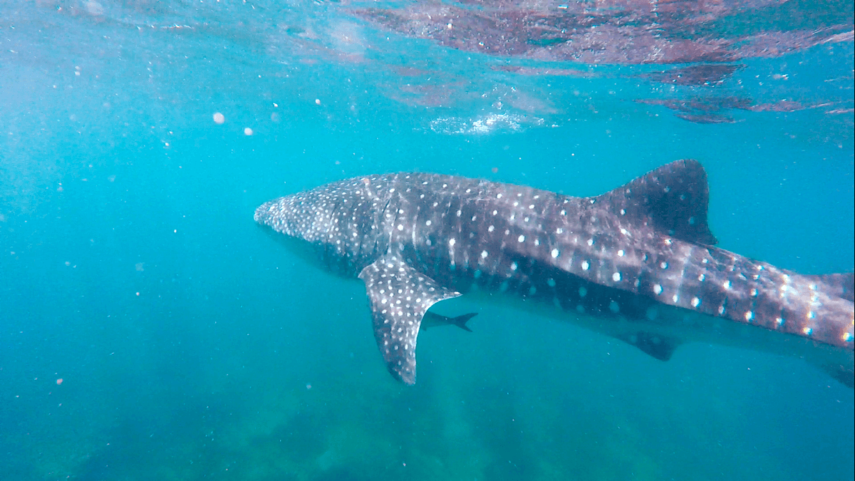 Whale_Shark_photo_taken_at_Ningaloo_Reef_on_the_27th_March_2016